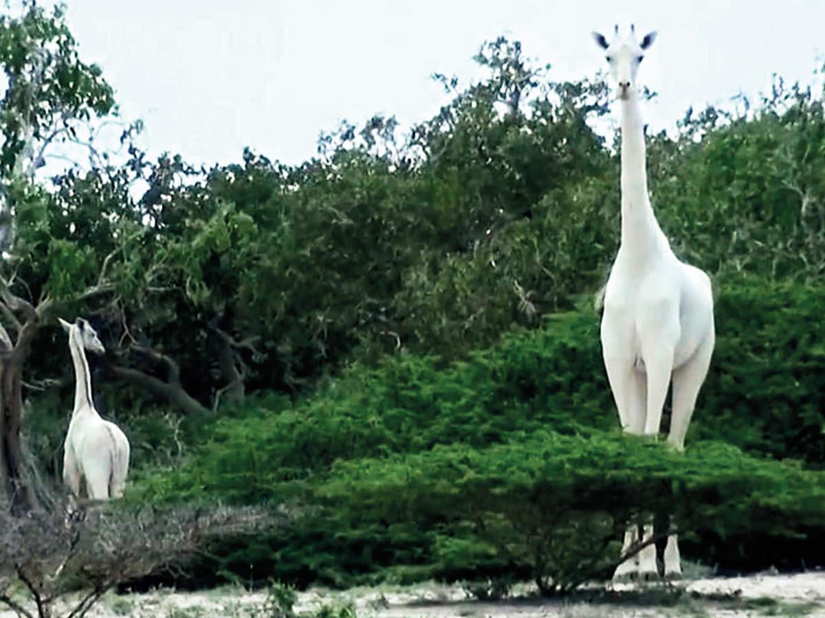 girafa albă